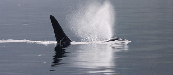 Killer whale breathing