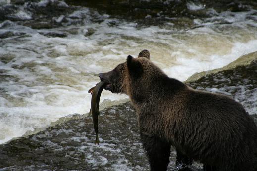 Griz Eating