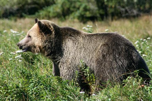 Large Grizzly Bear