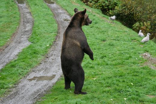 Grizzly is curious visitor