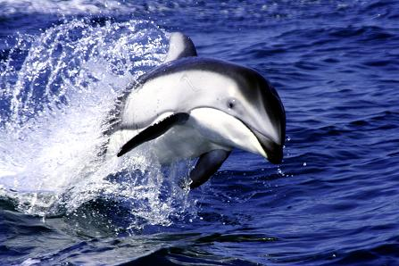 Pacific White Sides Dolphins