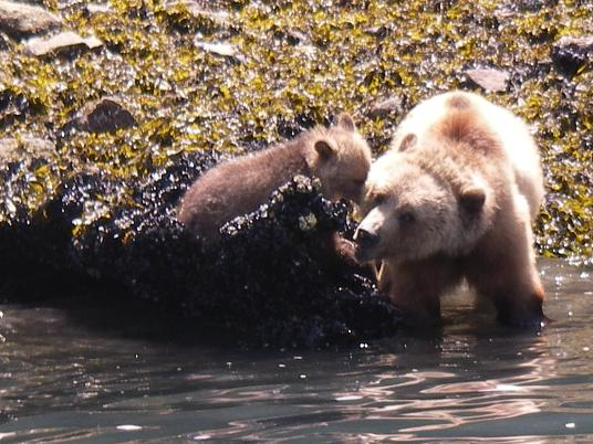 Spring grizzly bears