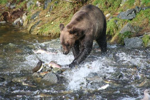Grizzly catching salmon