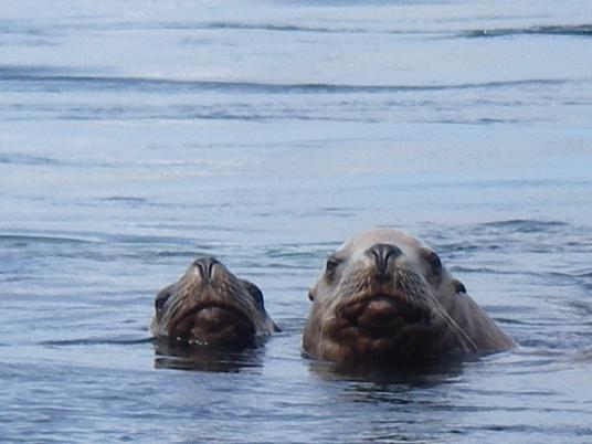 Sea lions visiting