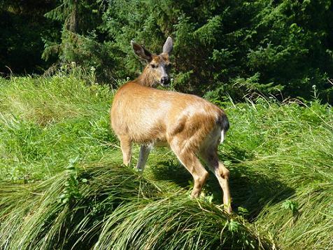 Blak tail deer