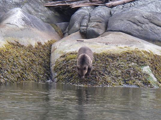 Grizzly along shore