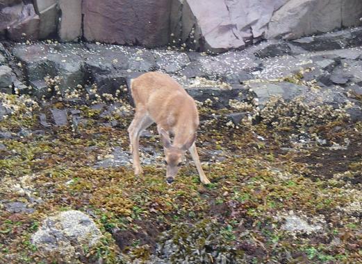 Deer eat seaweed