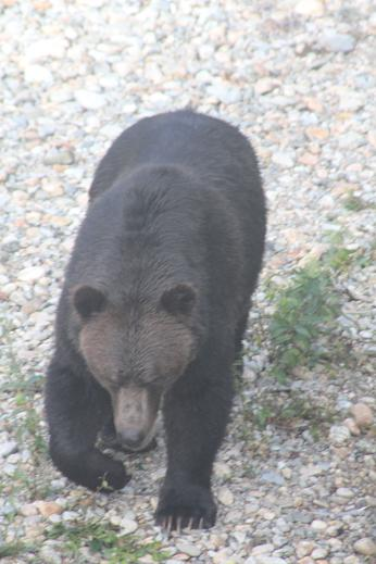 big grizzly bear