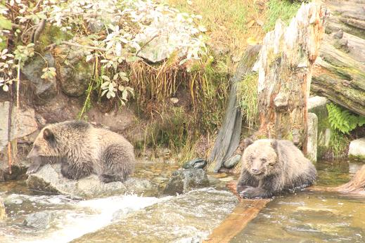 Grizzly bear cubs reasing