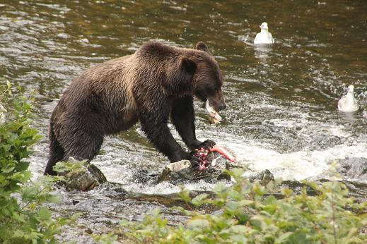 Grizzly bear Dining