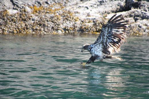 young eagle fishing