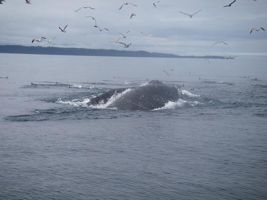 Humpback lunging