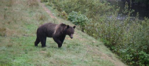 Cautious Grizzly Bear