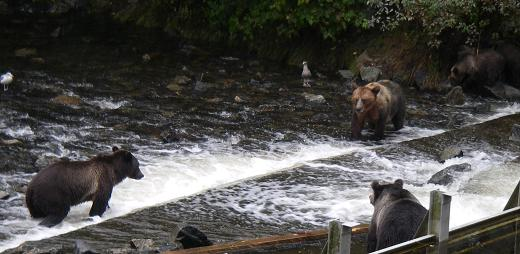 Grizzly bears waiting