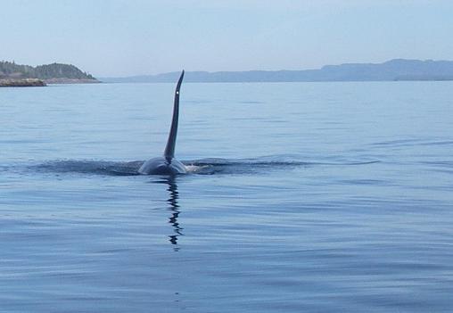 Killer Whale fin