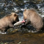grizzly bear fishinggrizzly bear fishing