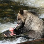 grizzly bear eating fish