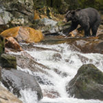 grizzly at falls