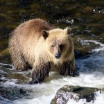 grizzly bear fishing