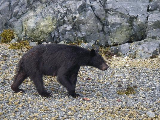 Black bear nursing mother
