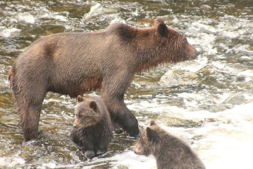 Grizzly cubs waiting for dinner