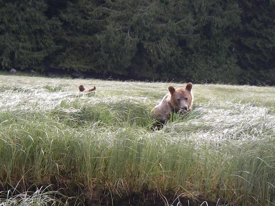 Grizzly grazing on sedge grass