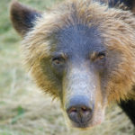 Grizzly Bear Face