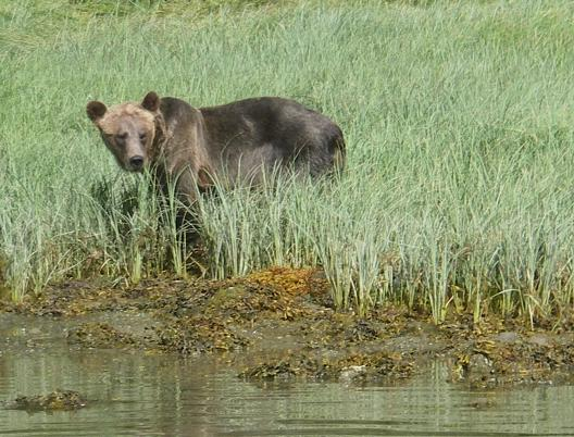 grizzly watching