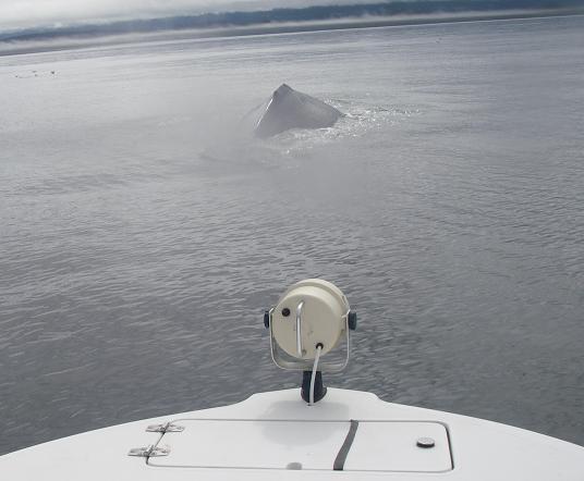 Humpback whale Bow