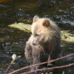 young grizzly bear seen on our Grizzly Bear Tours