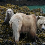 Spirit Bear Viewing