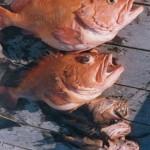 025-rock-fish