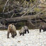 grizzly 4 cubs
