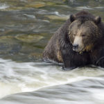 grizzly waiting