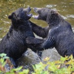 grizzlies play fighting