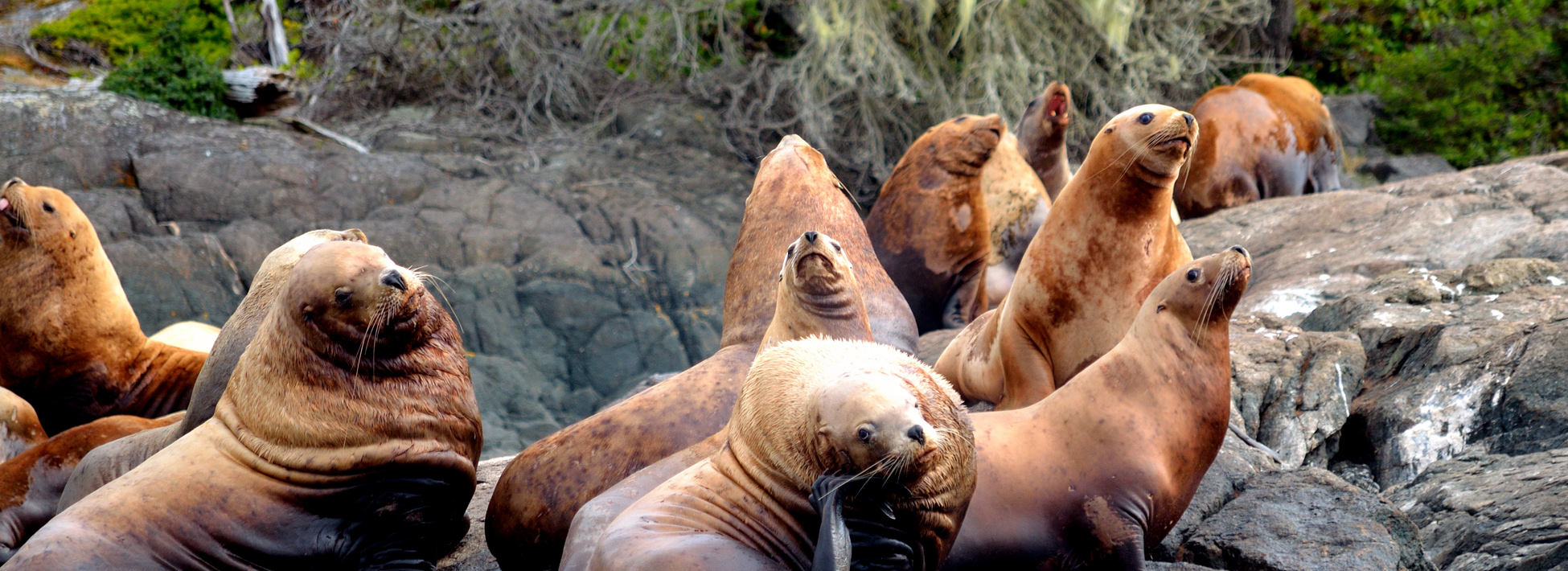 sea lions on coastal BC