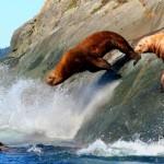 seals_sea-lions-02