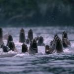 seals_sea-lions-06