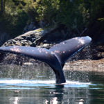 whale tail johnstone strait