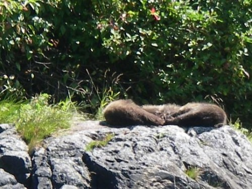 sleeping grizzly bear cubs