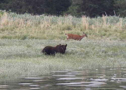 grizzlies and deer grazing