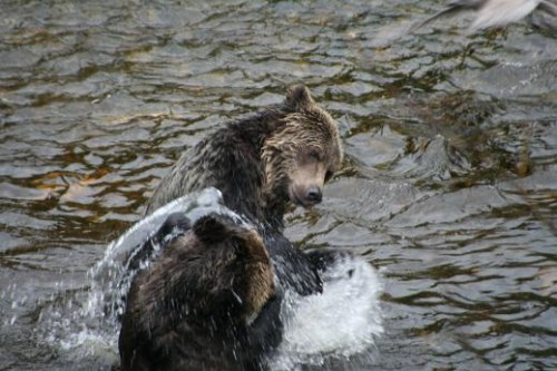 juvenile grizzlies fighting