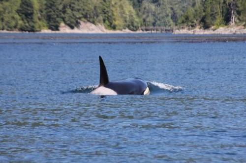 orca identification