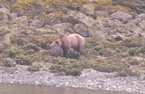 grizzly on the beach