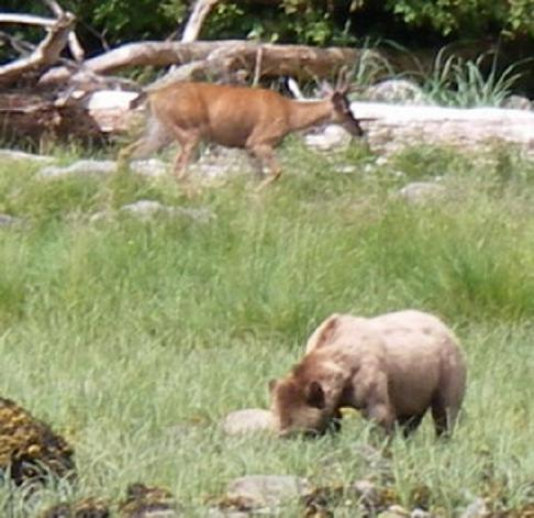 grizzly bear and black tailed deer
