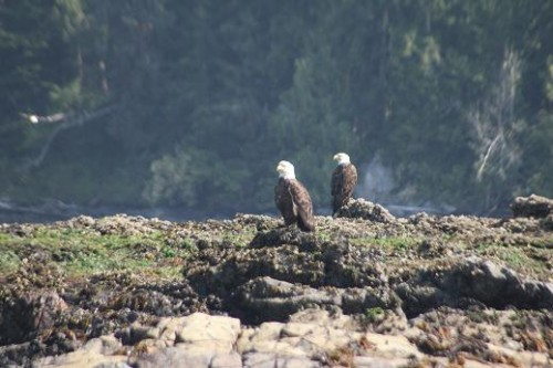 BC bald eagles drying