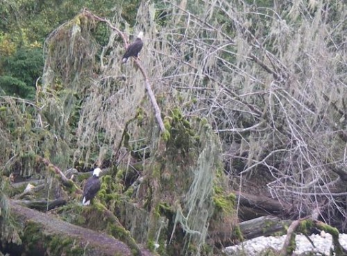bald eagles scavenging