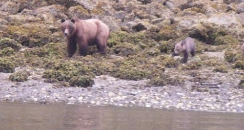 grizzly bear and cub watch us