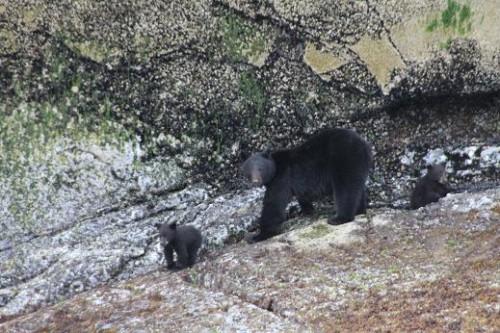 black bear cubs