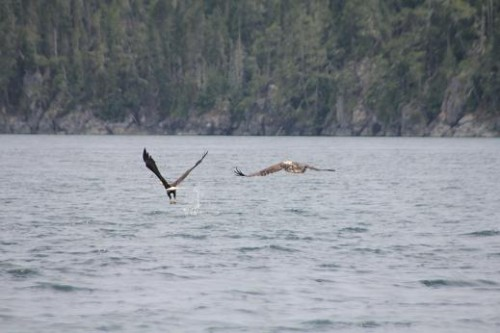 immature bald eagle fishing